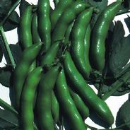 Broad Bean The Sutton - 1kg - 25kg Bulk Discounts available